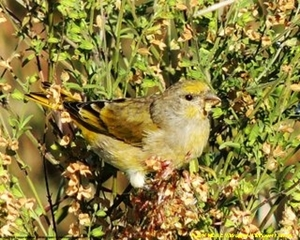 Canaries use strips of bark pulled from young Combretum molle twigs in constructing their nests.