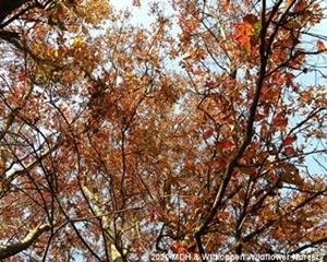 Combretum erythrophyllum may produce dramatic autumn colours.