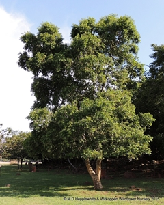 Combretum erythrophyllum trees are typically elegant and upright.