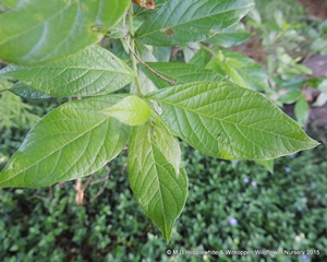Combretum erythropylum leaves are simple, elliptic or oblong-elliptic.