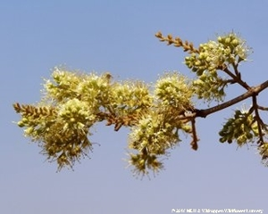 The small flowers of Combretum molle are grouped on short spikes.