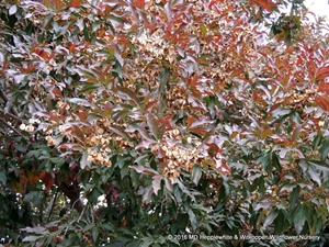 The attractive foliage of Combretum kraussii adds interest to the garden palette.