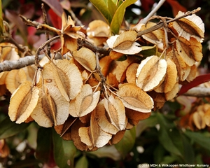 The fruit of Combretum kraussii, like most Combretums, is four-winged.