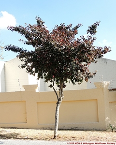 Combretum kraussii have become a popular tree for around housing estates.
