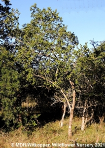 Combretum molle tree growing in the wild in Mkuzi Game Reserve, KZN.