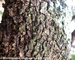 The bark of mature Combretum molle trees is dark brown to black, rough and fissured.