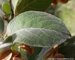 The soft hairs on the leaves give then a velvety feel.