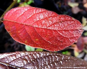 The leaves of Combretum molle produce some beautiful colours in autumn and winter.