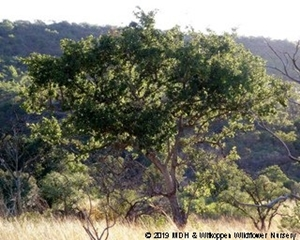 Combretum zeyheri in habitat in Gauteng, north of Culinan.