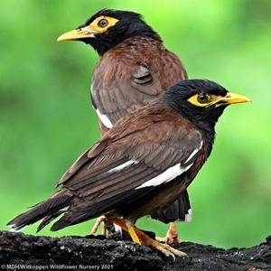 Common Mynas, must be one of South African's least liked birds.