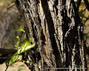 Bark is of Dichrostachys cinerea is dark red-brown or grey, rough and grooved.