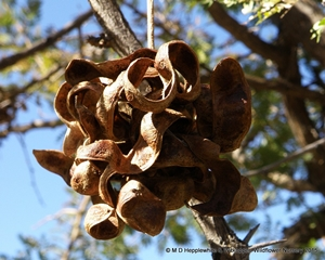 Dichrostachys cinerea seedpods are curly and hang in twisted clusters.