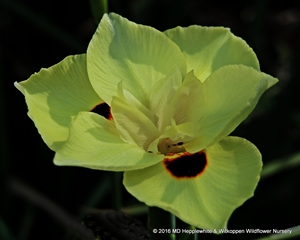 Dietes bicolor has attractive yellow iris flowers.