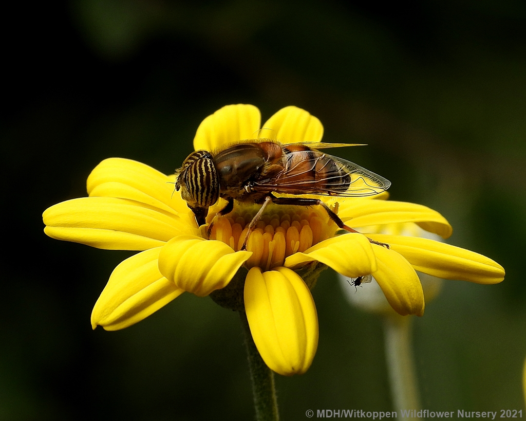 A fly, Eristalis taeniops, that mimics a honey bee for protection.
