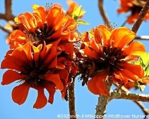 Erythrina caffra flowers.