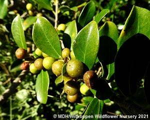Leaves and fruit of Ficus burtt-davii.