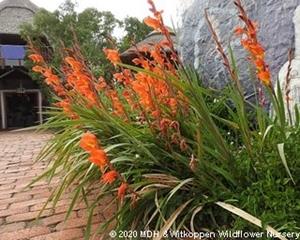 Gladiolus dalenii has long, showy flower spikes.