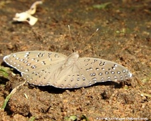 Combretum molle is a larval host for the Guineafowl butterfly.