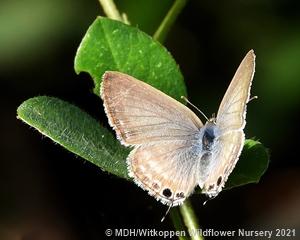 Lampides boeticus female.