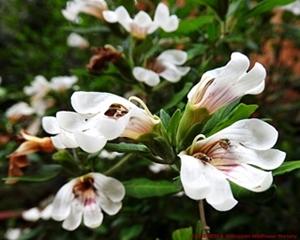 The white flowers of Sclerochiton odoratissimus.