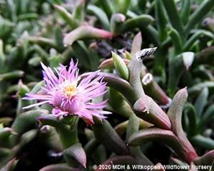 Smitrostigma viride has pink mesem-type flowers.