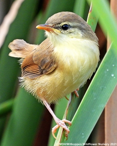 A fledgling Tawny-flanked Prinia.