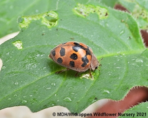 A new Ladybird species for us.