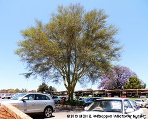 Vachellia xanthophloea is a large Thorn-tree.