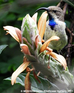 White-bellied Sunbird feeding on Metarungia galpinii nectar.
