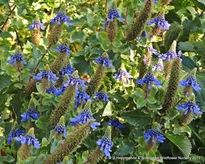Coleus livinstonei plants are very attractive in flower.