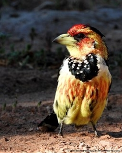 Crested Barbets and other fruit-eating birds relish Diospyros lyciodes guerkei fruit.