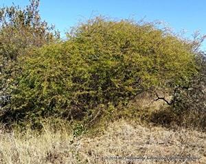 Dichrostachys cinerea tree in natural habitat.