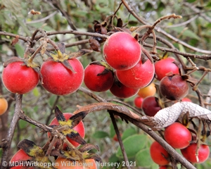 Diospyros lyciodes guerkei with red fruit is very showy.