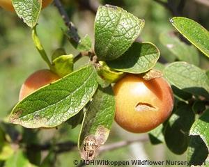 The ripe fruit of Diospyros lyciodes guerkei are edible.