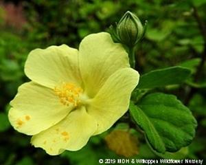 Pavonia praemosa flower.