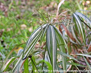 Cyperus textilis is a grass-like sedge.