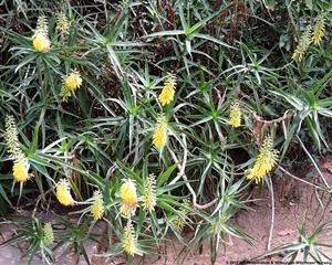 Aloe tenuer in flower.