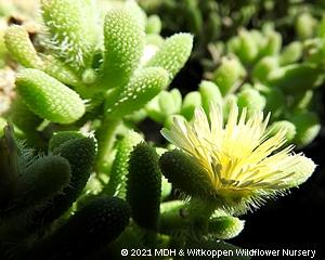 Delosperma echinatum leaves and flower.
