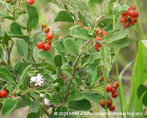 Ehretia obtusifolia flower and fruit.