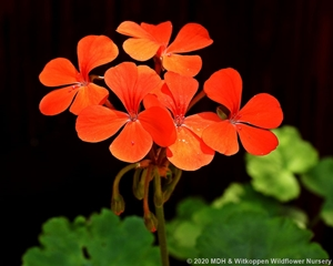 Pelargonium zonale hybrid with red flowers.