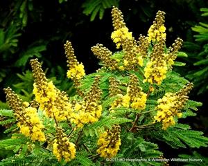 Peltophorum africanum flowers.