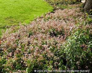 A flowerbed with Crassula multiclava planted as a border.