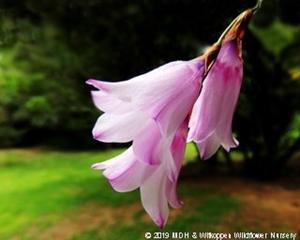 The delicate pink flowers of Dierama floriferum.