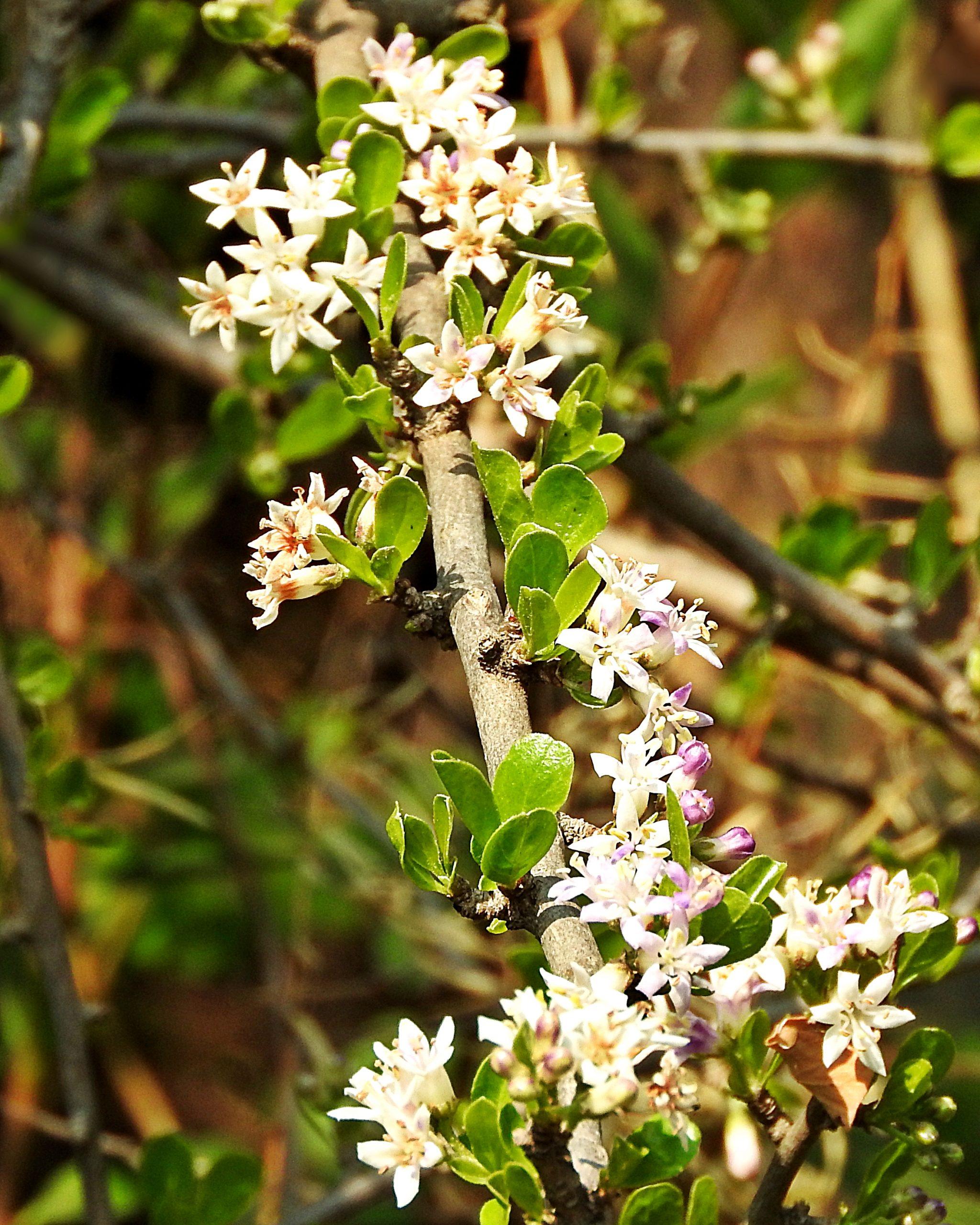 The clusters of Ehretia rigida are borne along the branches..