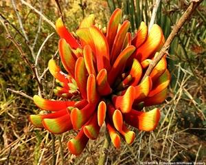 Erythrina acanthocarpa has stunning flowers.