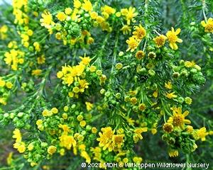 The free flowering Euryops virgineus.