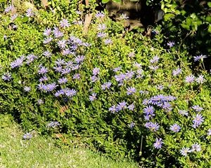 Flowering Felicia ameloides used as a border to a flowerbed.