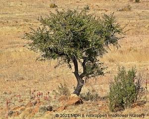 Gymnosporia buxifolia is an evergreen shrub or small tree.
