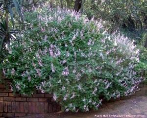 Ocimum labiatus is very showy in flower.