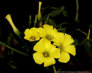 An umbel of bright yellow flowers of Oxalis pes-caprea.